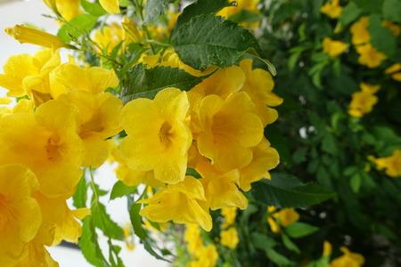 lamiales: Yellow elder