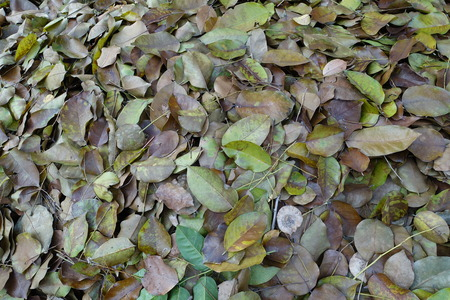 fulvous: Dry leaf that pile up Stock Photo