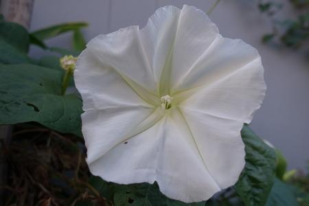 moonflower: Ipomoea alba in evening, Moonflower Stock Photo