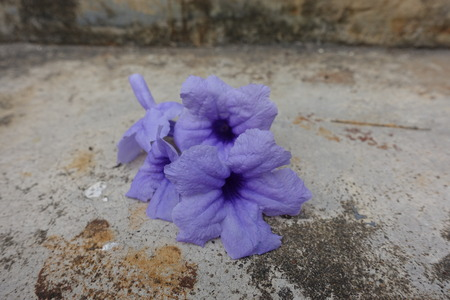 cracked cement: Purple flower on background cracked cement