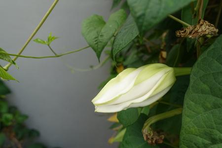 moonflower: Moonflower (Ipomoea alba L.). Edible flower.