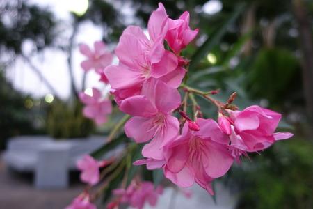 nerium: flower of a pink oleander, Nerium oleander,