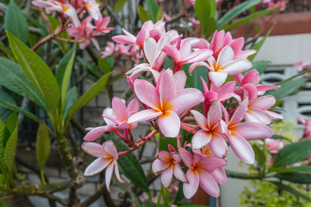 perfumed: Frangipani (Plumeria) blossoms on the tree Stock Photo