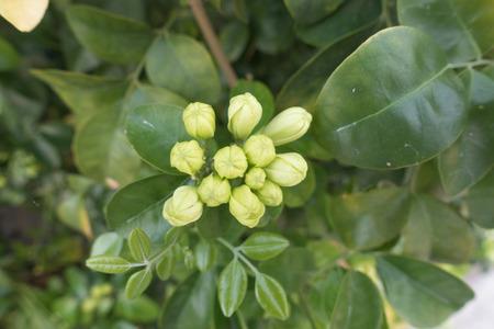 philadelphus: White flower Murraya paniculata or Orang Jessamin on tree Stock Photo