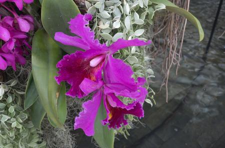 cattleya orchid: purple red cattleya orchid