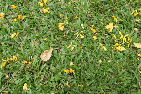 fistula: Golden yellow flower on grass
