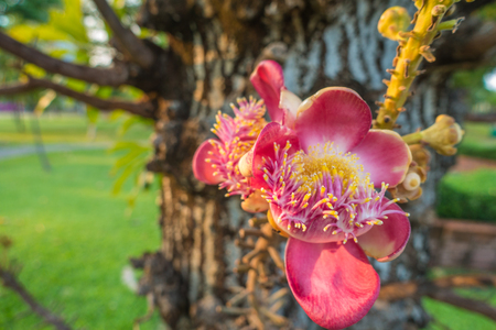 cannonball: Cannonball flower from tree