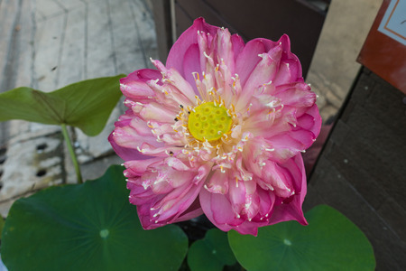 sacred lotus: beautiful pink Sacred Lotus flower