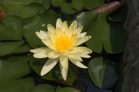 limbo: Yellow lotus flower in the water and green leaf