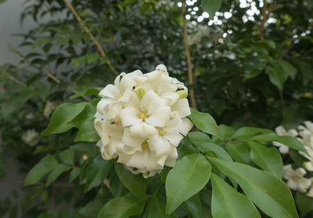 philadelphus: White flower Murraya paniculata or Orang Jessamin Stock Photo