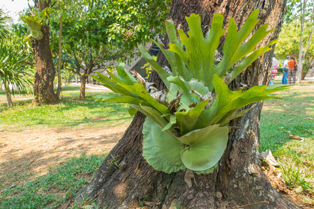 epipetric: Big staghorn fern in Chiang Rai City, Thailand
