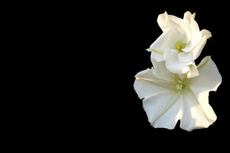 moonflower: Moonflower (Ipomoea alba L.). Edible flower on Black background