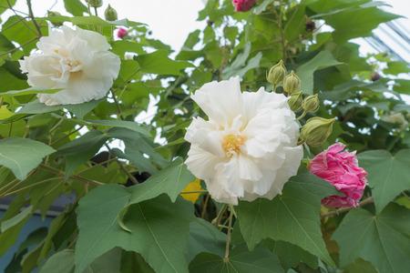 selective focus of Cotton rose on tree, Confederate rose (Hibiscus mutabilis L)