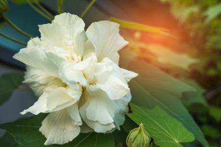 Cotton rose on tree, Confederate rose (Hibiscus mutabilis L)