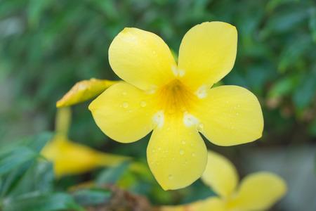 Golden trumpet vine, Yellow bell in the garden