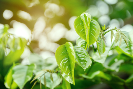Green leaves freshness on nature background. Young shoots of pale green leaves on tree.