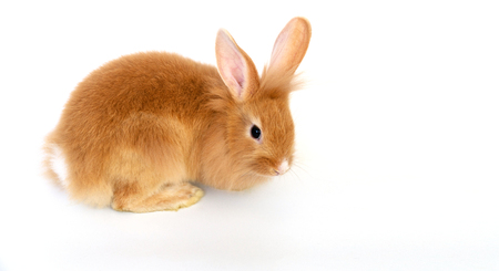 Lionhead bunny rabbit brown isolated on a white background.