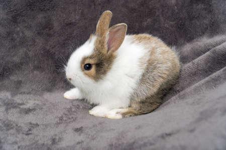 Close up little Brown white rabbit sitting on shopping cart on velvet fabric gray background.