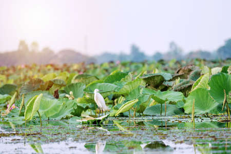 Great egret bird standing on lake lily lotus in water in Thailand. Intermediate egret flapping its wings in lotus pond.