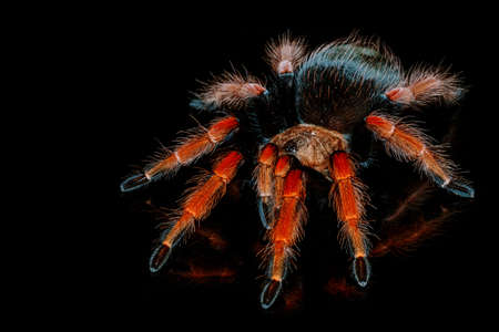 Black and red hairy spider on isolated black background with reflection. Close up big red tarantula Theraphosidae. Banque d'images