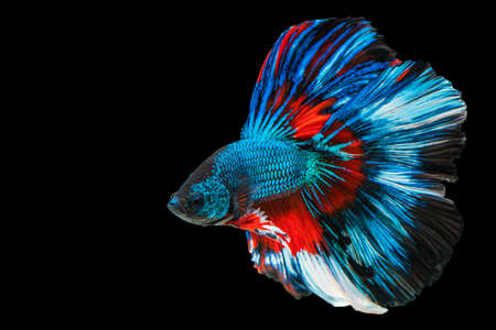 Rhythmic of betta fighting fish over isolated black background. The moving moment beautiful of white, blue and red siamese betta fish with copy space.