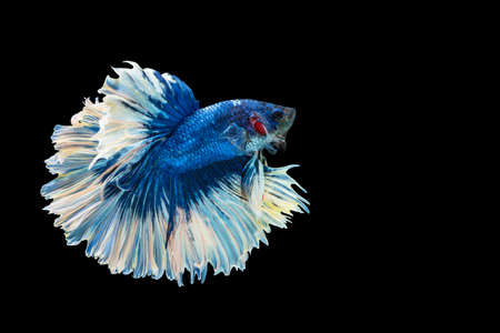 Movement power of betta fighting fish over isolated black background. The moving moment beautiful of white and blue siamese betta fish with copy space.