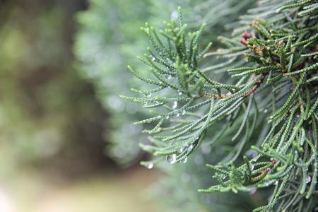breezy: pine  in Thailand