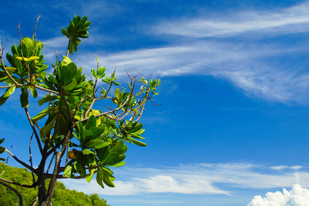 Branch of Plumeria Trees Against Crystal Blue Sunny Sky