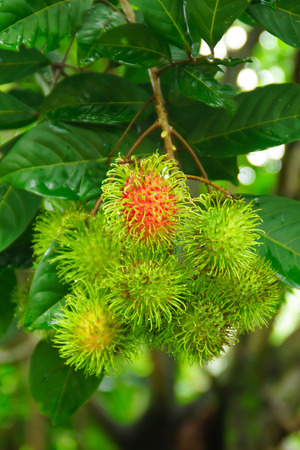 Fresh Rambutan; Exotic Fruit in Thailand in Orchard