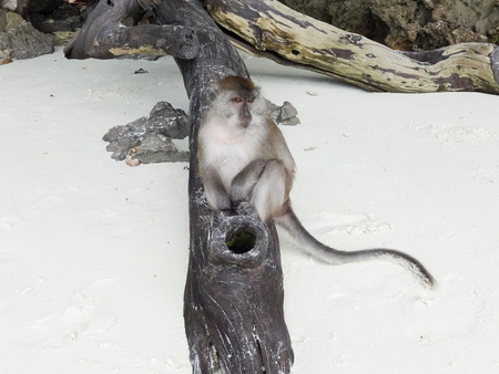 One Monkey Relaxing on the Beach in Thailand