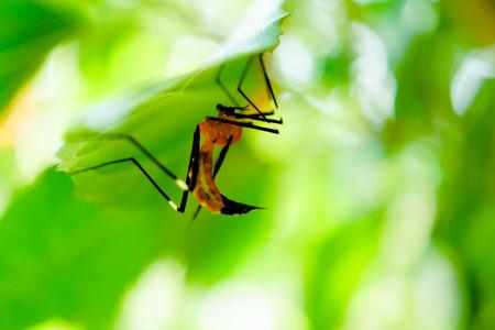 Malaria Mosquito under Green Leaf Stock Photo
