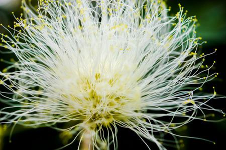 myrtales: Macro Shot of Eugenia Flower, Myrtus Myrtle - Plantae Angiosperms Eudicots Rosids Myrtales Myrtaceae