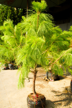 sold small: Small Green Pine Tree Sold in Jatujak Market, Thailand Stock Photo
