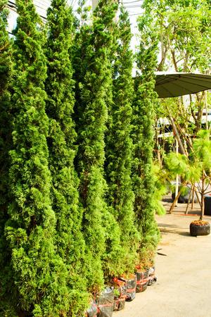 sold small: Piccolo Verde Pino Venduto in Jatujak mercato, Thailandia Archivio Fotografico