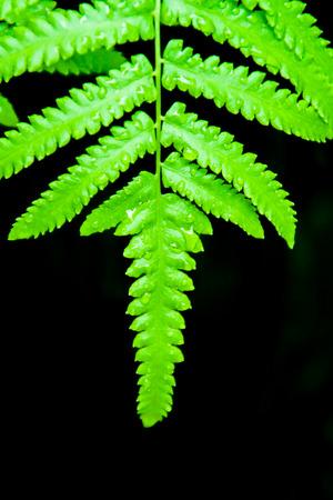 Closeup Green Fern Leaf on Black Background