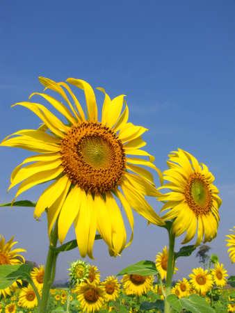 Sunflowers against blue sky photo