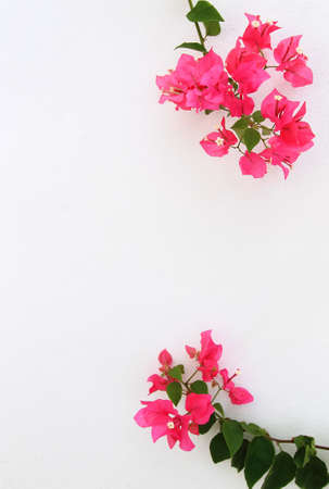 Bougainvillea branches on white background Stock Photo