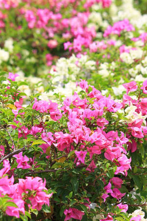 Beautiful pink and white Bougainvillea branches in the park Stock Photo