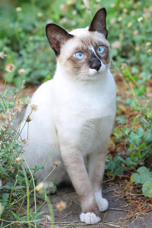 Close-up of asian cat on the field in Thailand