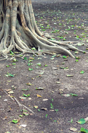 Roots of a big tree spreading on the ground floor Stock Photo