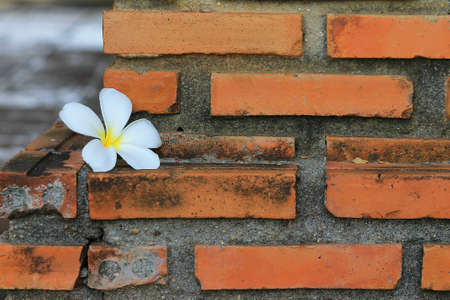 A white plumeria put on the old brick wall photo