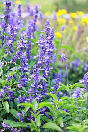 Meadow with blooming Blue Salvia herbal flowers. Blue Salvia is plant in the mint family. Stock Photo