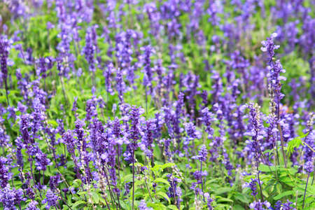 Meadow with blooming Blue Salvia herbal flowers. Blue Salvia is plant in the mint family. photo