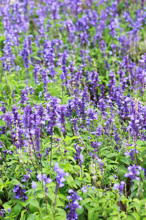 Meadow with blooming Blue Salvia herbal flowers. Blue Salvia is plant in the mint family. Stock Photo - 15136286