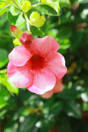 Pink Hibiscus blooming against green leaves in the background