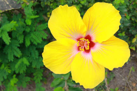 Yellow Hibiscus blooming against green leaves in the background Stock Photo - 15136271