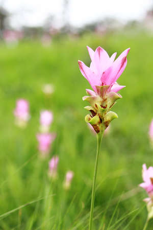 Siam Tulip or Summer Tulip blooming in the green field, it is one of the various ginger species. Stock Photo