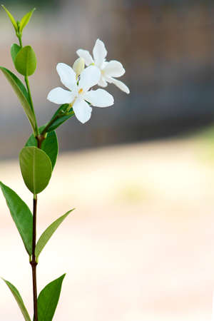 Beautiful white common gardenia or cape jasmine flower in garden
