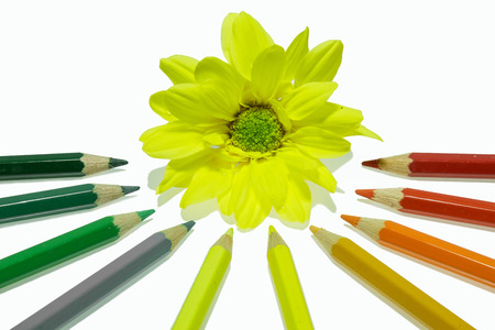 Colorful pencils on a white background with chrysanthemum  photo