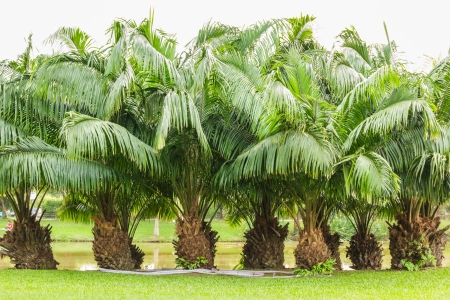 Group of palm trees.